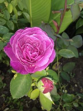 Роза олд порт