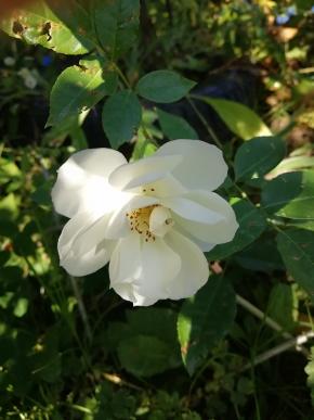 Шнеевитхен роза