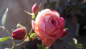 Роза 2019