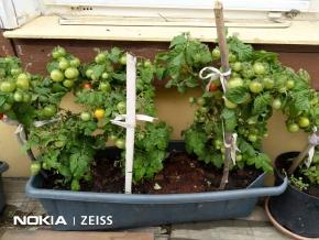 Урожай на окне балкона