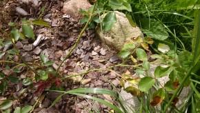 Розариум уетерсен