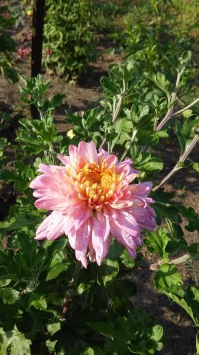 Хризантема жар-птица