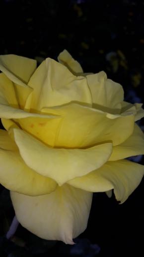 Розы цветут в октябре