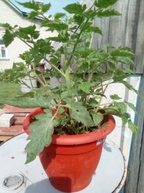 Жирный помидор