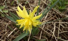Нарцисс,мини....май 18