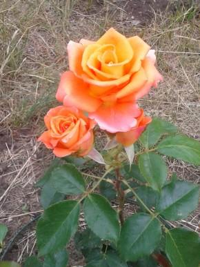 Роза моника. через неделю