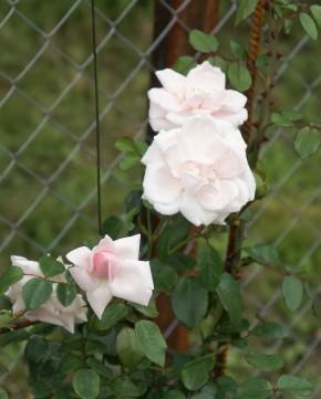 Новый день. сначала розовато-белая, а потом молочн