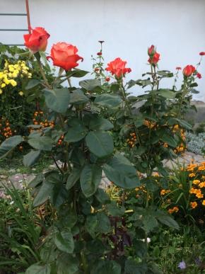 Розы,почти все 2019 года посадки.