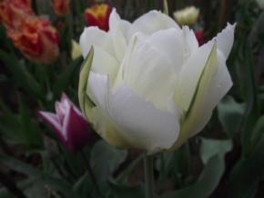 """Тюльпаны, """"экзотический император"""""""