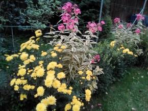 Хризантема и флоксы
