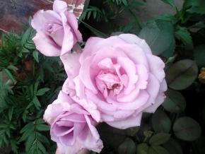 Роза сереневая