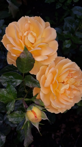 Октябрь и розы