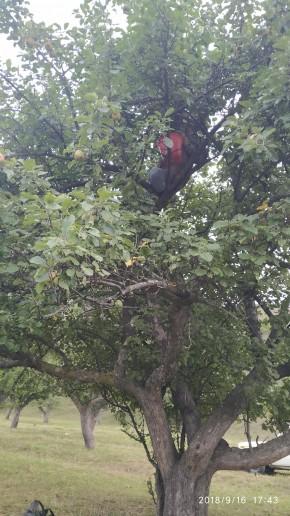 Яблоки в саду собираем