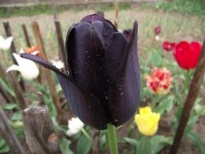 "Тюльпаны, ""королева ночи"""