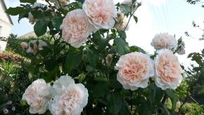 Роуз де толбеак