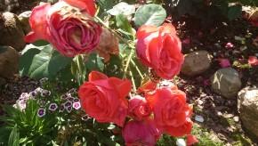 Роза ротару