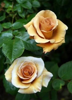 Rose irish cream