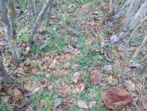 Сибирские кедрята, древесная труха