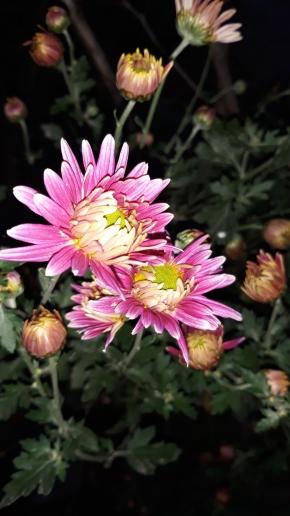 Расцвела хризантема
