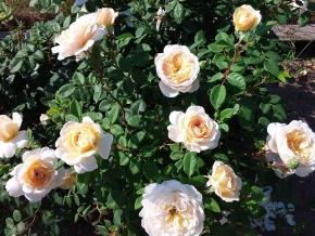 Крокус роза