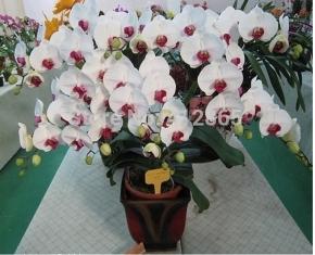 Орхид 1