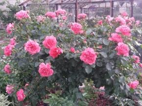 Роза штамбовая розарио ютерсен