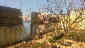 Цветет сладкий миндаль