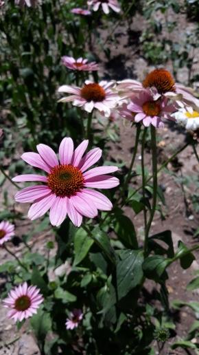 Цветет эхинацея
