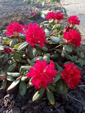 Хочу узнать имя этой розы.
