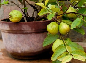 Growing guava in pots