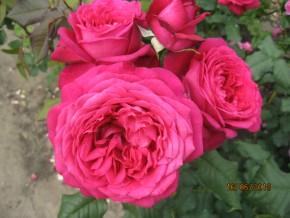 Иоганн вольфганг фон гете роуз