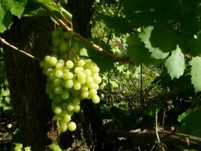 Виноградная сладость