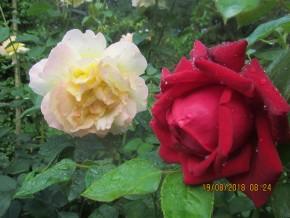 Портреты роз