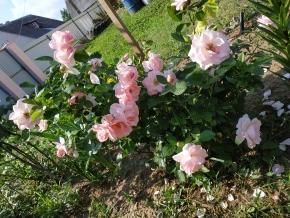 Роза флорибунд