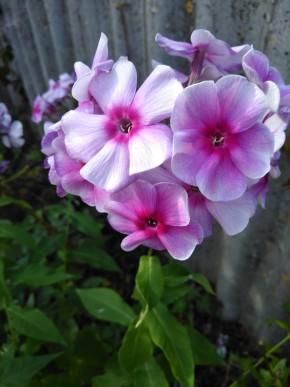 Мои цветочки