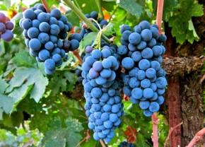 6 верных способов погубить виноград