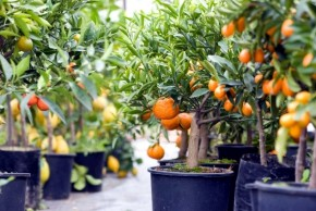 Tips for growing fruit trees in containers